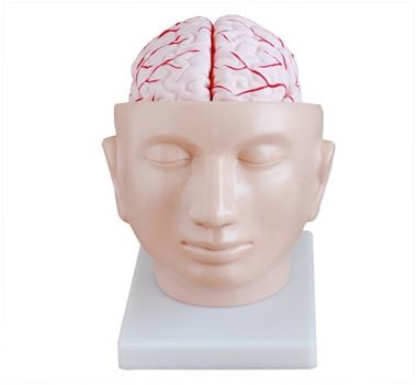 知能医学模型-脑解剖附脑动脉分布模型