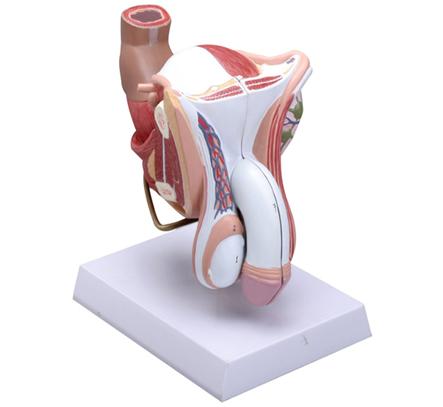 知能医学模型-男性外生殖器解剖模型