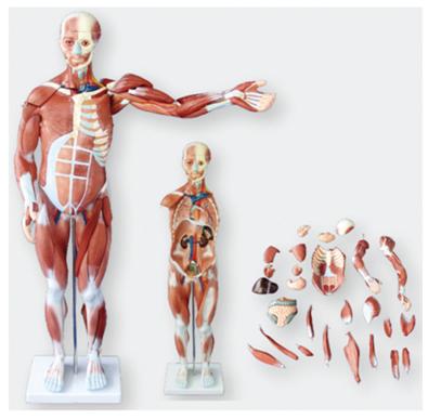人体全身肌肉解剖附内脏模型