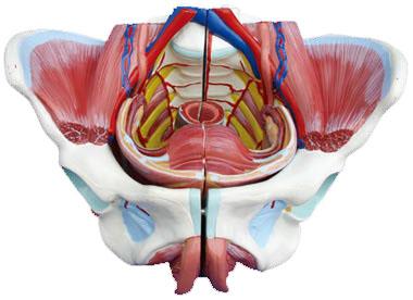 女性骨盆附生殖器官与血管神经模型